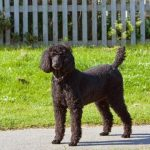 Poodle, short hair, Lost in Chester County, PA