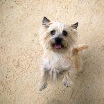 Ciarn Terrier