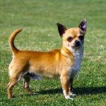 Chiwawa, light-brown, lost in yard